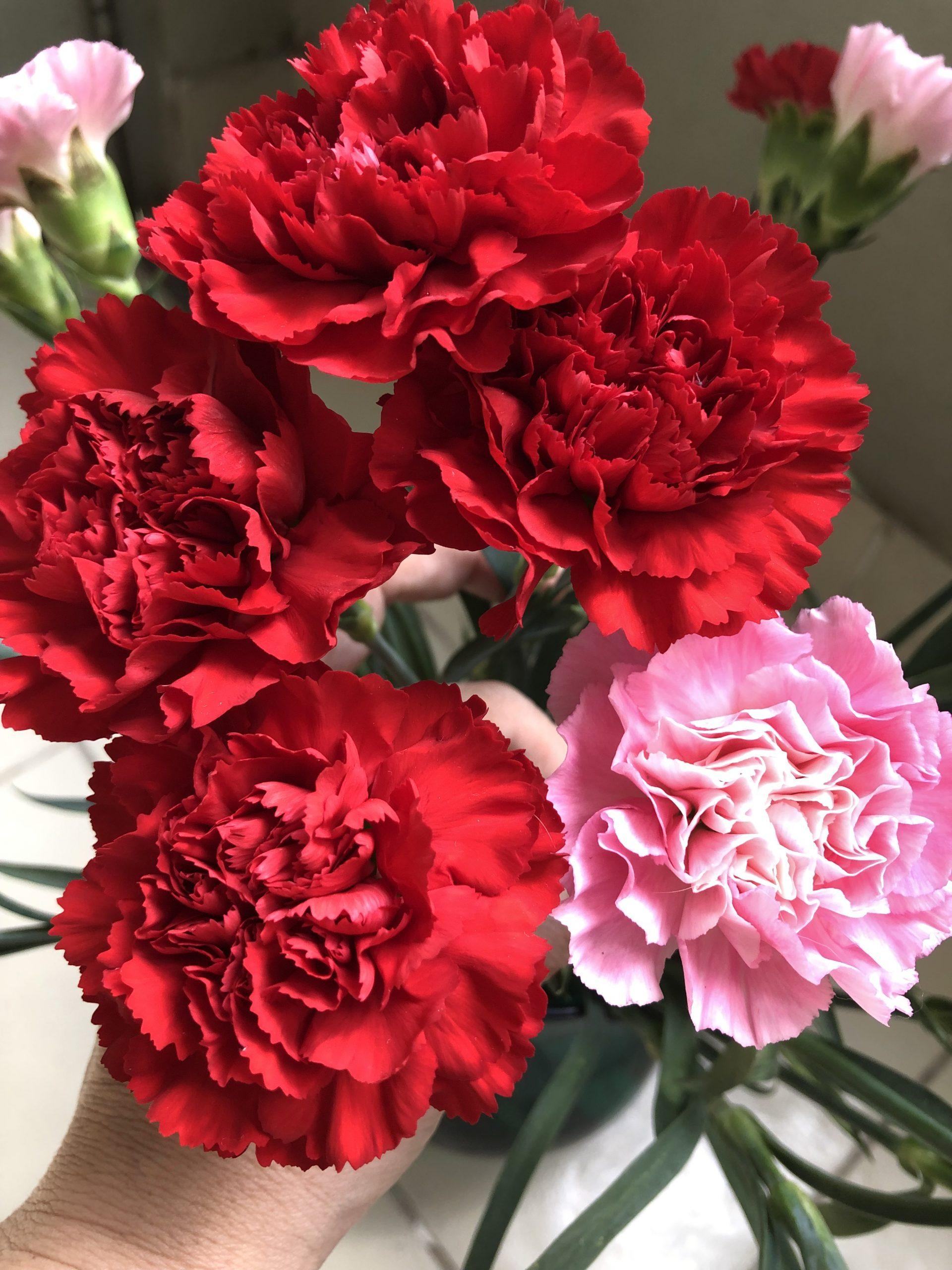 hoa cẩm chướng; ý nghĩa hoa cẩm chướng, hiểu về các loài hoa